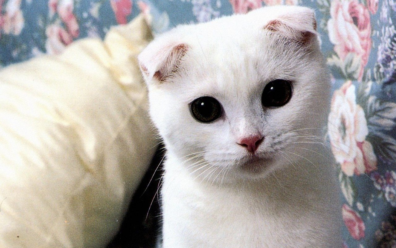 Gatito scottish fold blanco