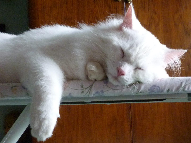 Galer a de im genes raza de gatos angora turco for Marmol blanco turco caracteristicas