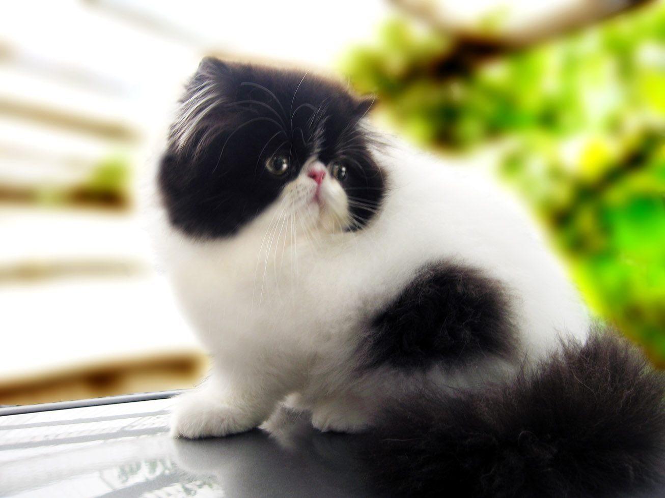 Galera de imgenes Raza de gatos persa