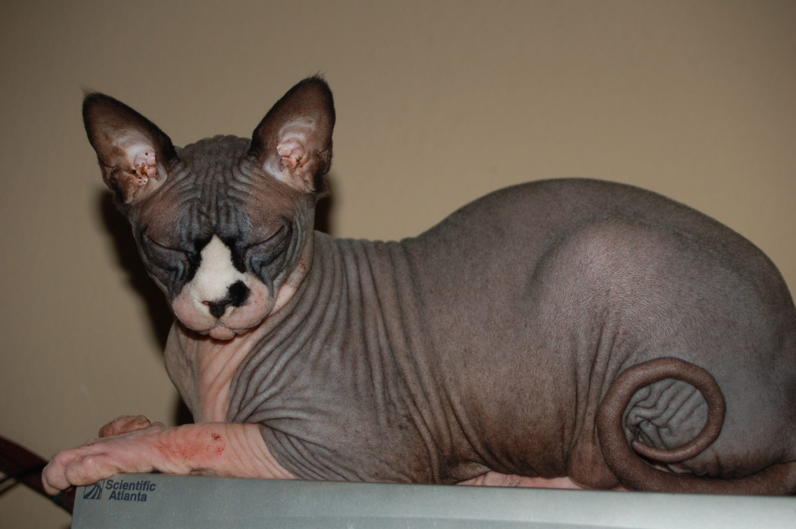 Gato Sphynx gris