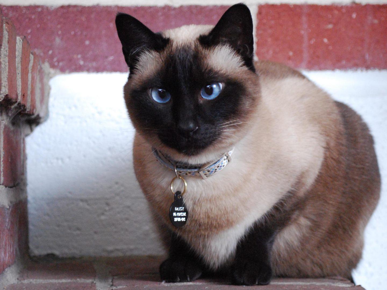 Ojos azules del gato siamés
