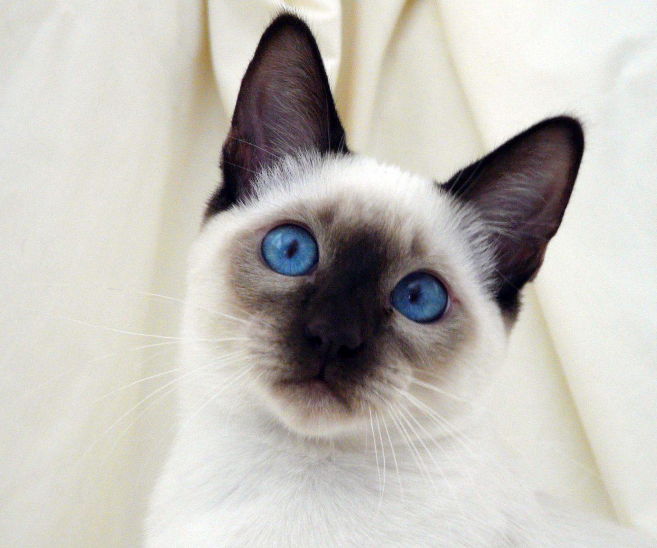 Raza siamés de ojos azules