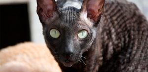 Raza de gatos Cornish Rex