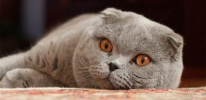 Raza de gatos scottish fold